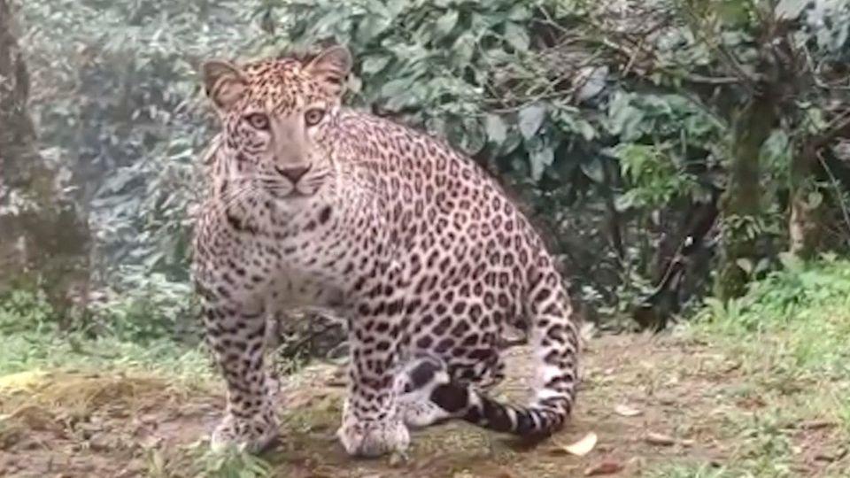 Leopard streunt in Garten herum und beobachtet Hausbesitzer neugierig