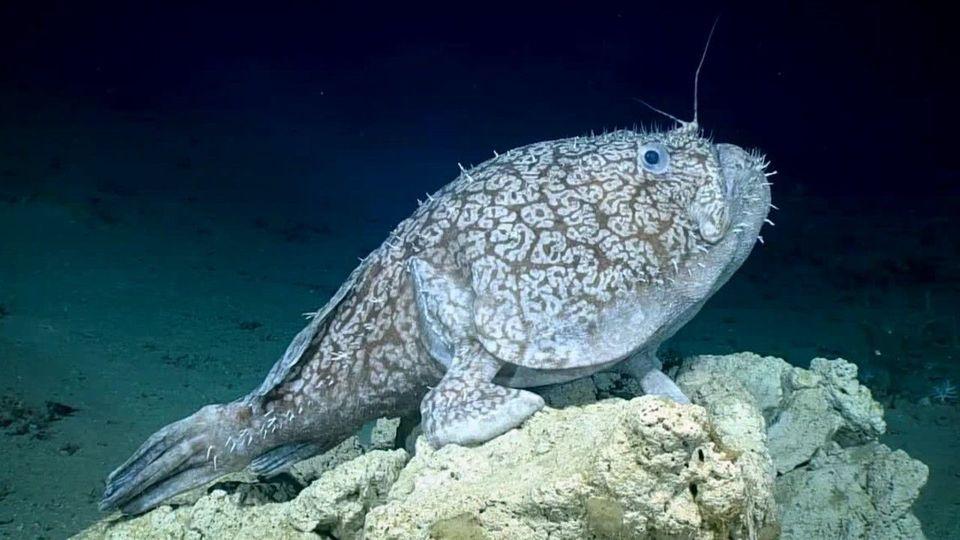 Forscher entdecken Riesen-Fisch, der Flossen als Beine benutzt